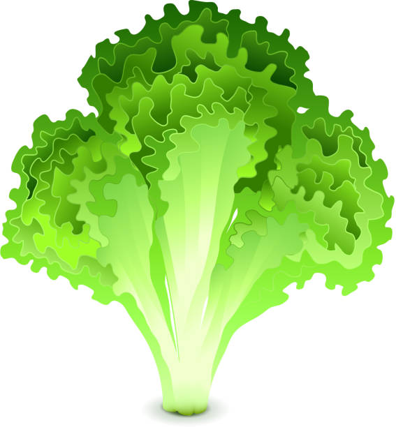 -isolated-vector - lettuce stock illustrations