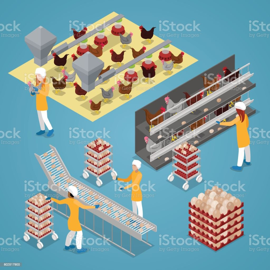 Isometric Chicken Farm Poultry. Organic Eggs Production Line vector art illustration