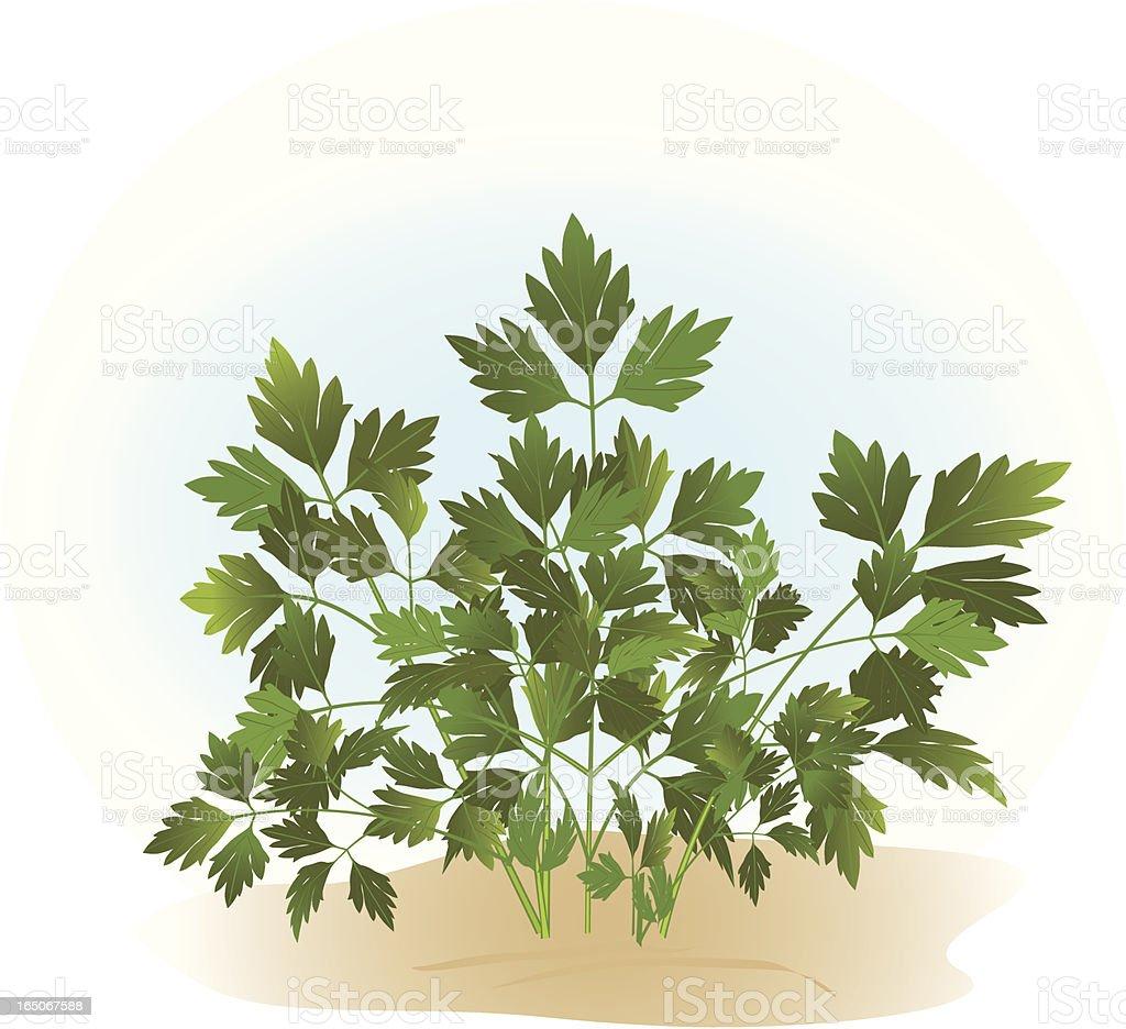Italian Flat-leaf Parsley royalty-free stock vector art