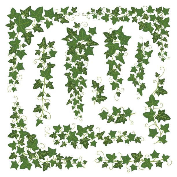 stockillustraties, clipart, cartoons en iconen met ivy bijkantoren groen - klimop