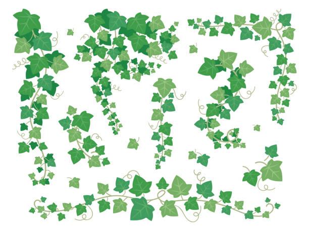 stockillustraties, clipart, cartoons en iconen met ivy groene bladeren. opknoping klimplant plant takken. druivenblad klimmen op de set van de vector van tuin muren geïsoleerd op witte achtergrond - klimop