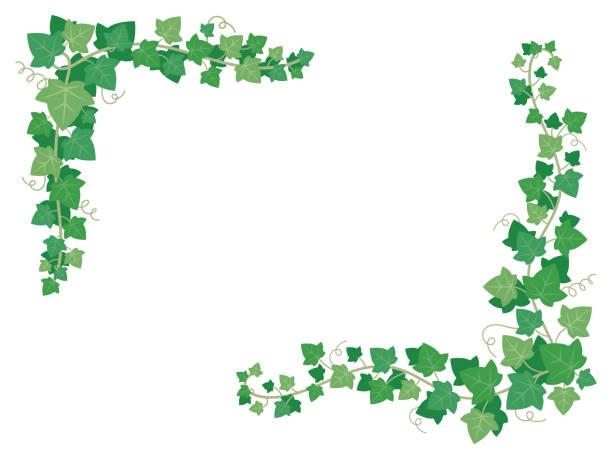 bildbanksillustrationer, clip art samt tecknat material och ikoner med ivy gröna blad på ram hörn. dekorativa druvor växter hängande på trädgårdsmur. blommiga ramar dekoration vektorillustration - murgröna
