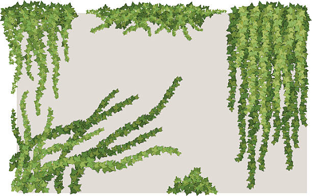 stockillustraties, clipart, cartoons en iconen met ivy on wall - klimop