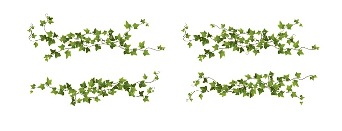 Ivy plant branch cartoon vector illustration. Climbing vine.