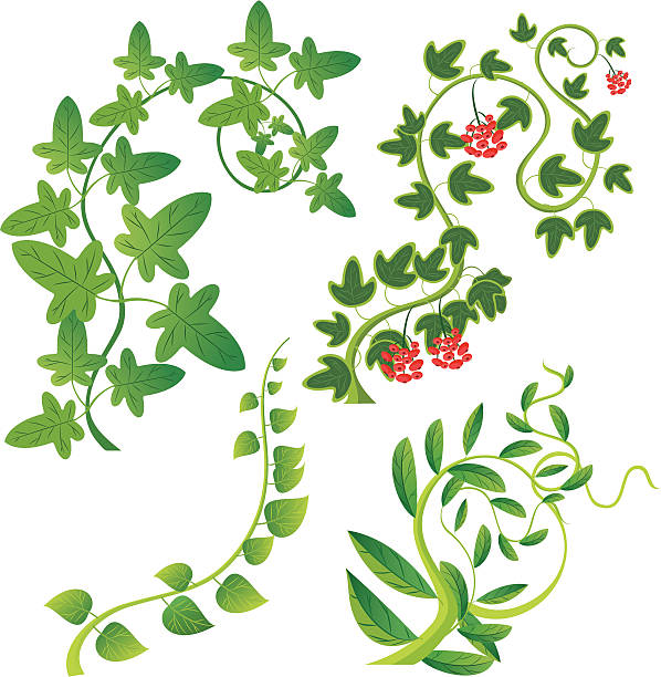 Best Creeper Plant Illustrations, Royalty-Free Vector ...