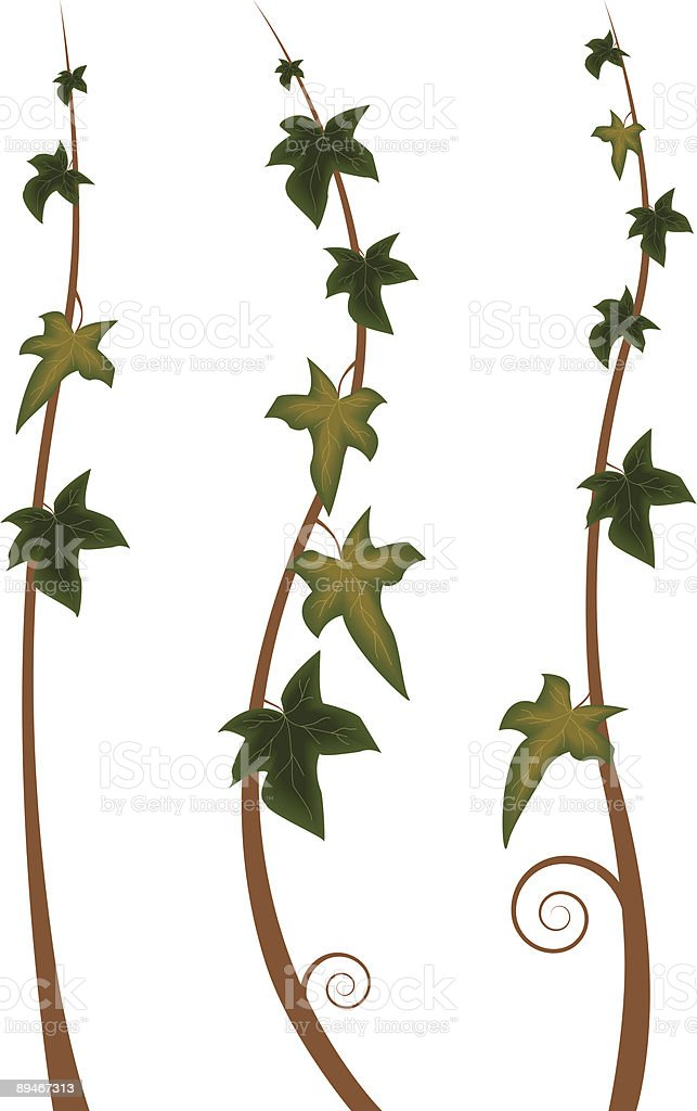 ivy royalty-free ivy stock vector art & more images of branch - plant part