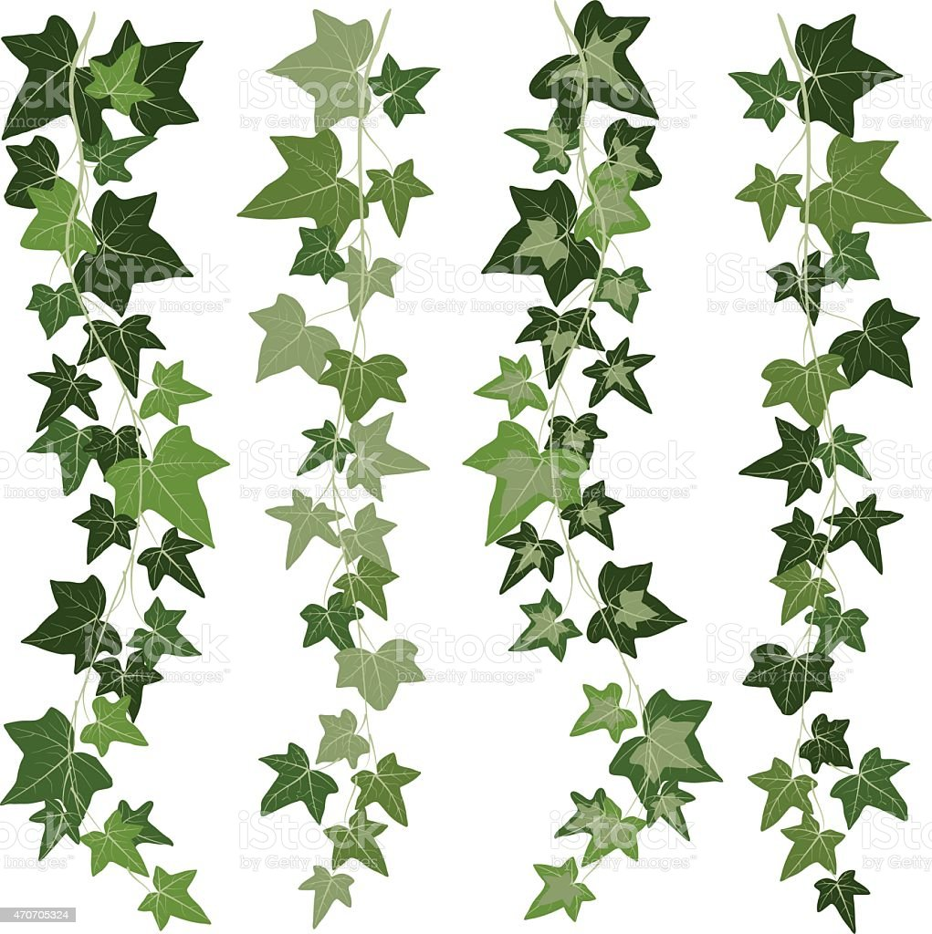 ivy vine vector art illustration