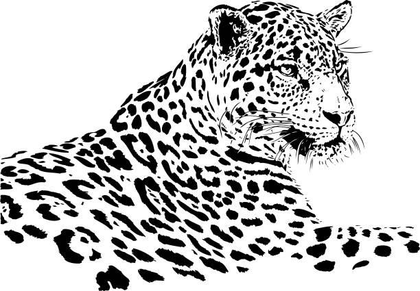 Jaguar portrait in black and white Panthera onca illustration in black lines jaguar stock illustrations