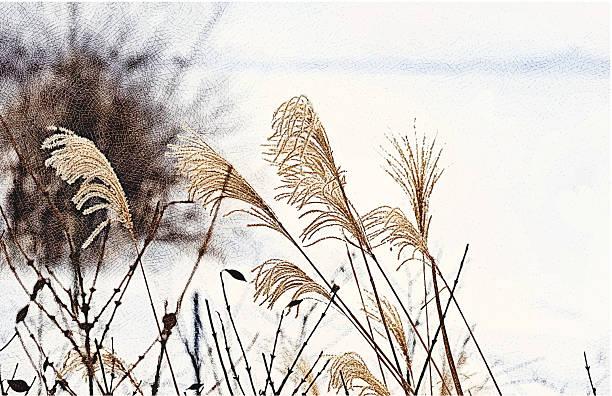 illustrazioni stock, clip art, cartoni animati e icone di tendenza di miscanthus in inverno - miscanthus sinensis