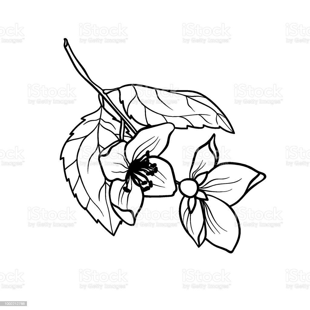 Ilustración de Jazmín Rama Vector Gráfico Ejemplares En Página Para ...
