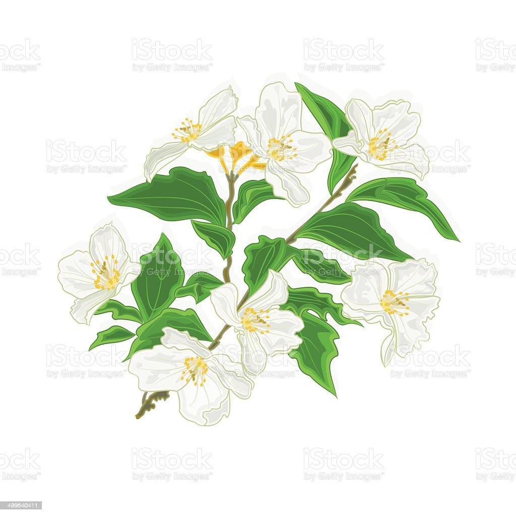 Jasmine Flower Branch Stock Vector Art More Images Of Branch