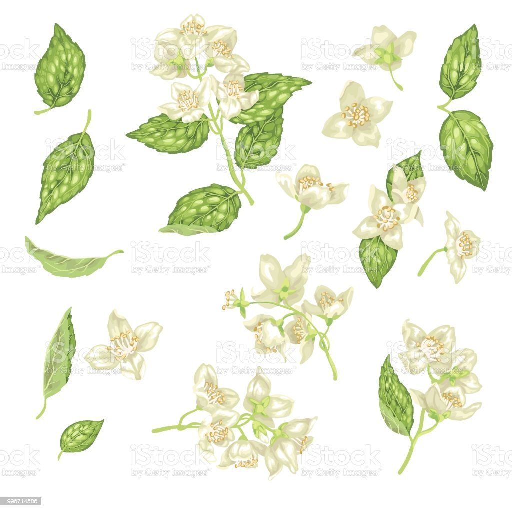 Jasmine Flower Branch Vector Realistic Graphic Set Stock Vector Art