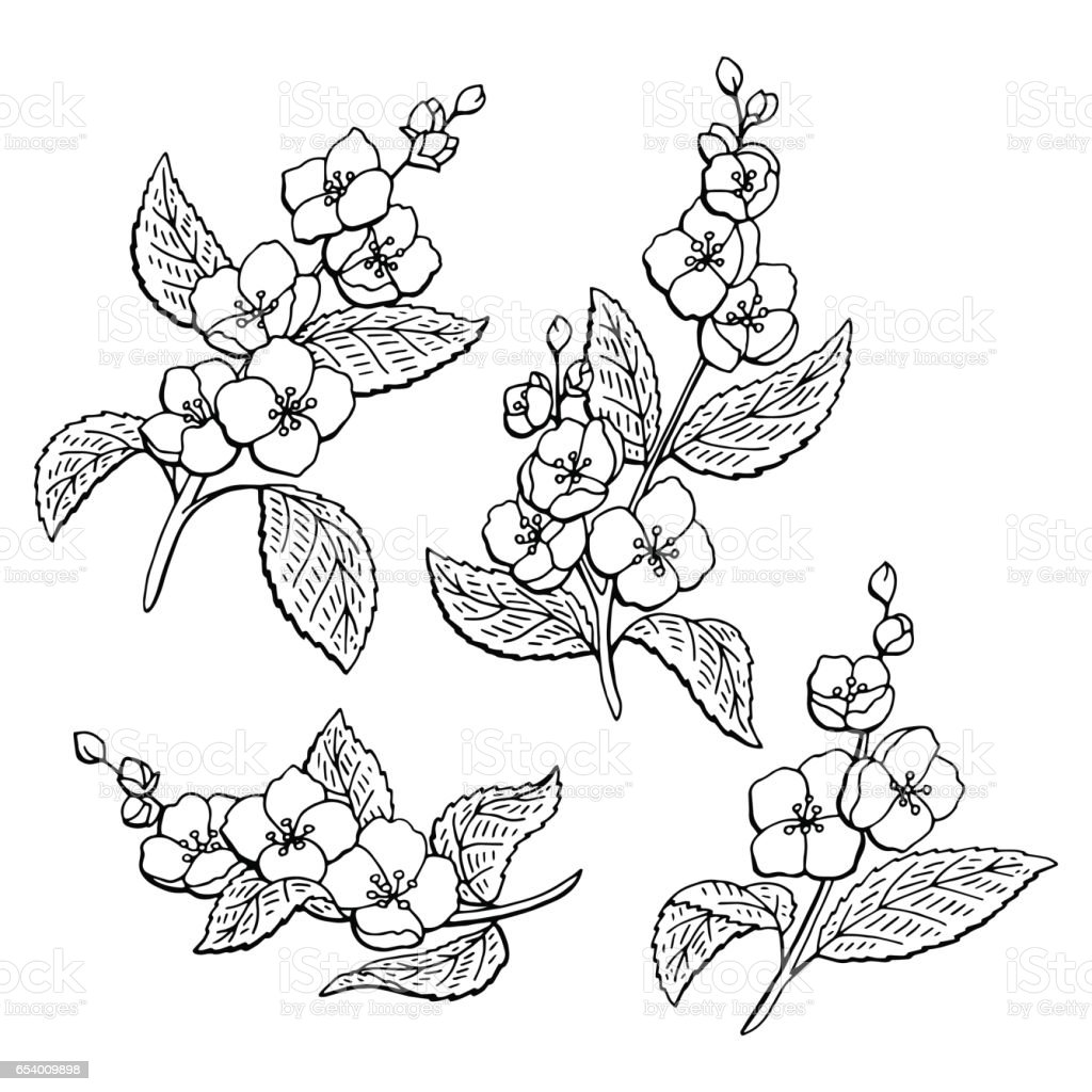 Line Drawing Jasmine Flower : Jasmine flower graphic black white isolated sketch