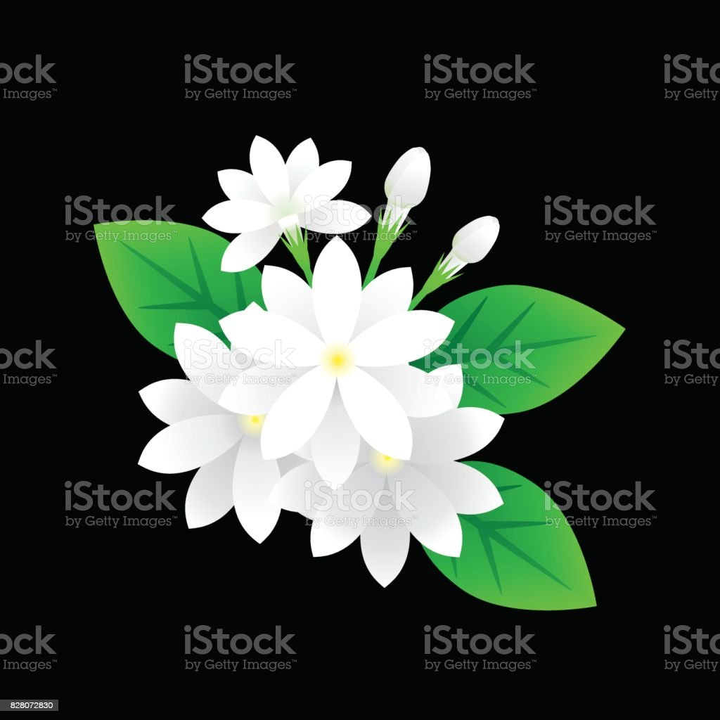 Jasmine Flower Stock Vector Art More Images Of Art 828072830 Istock
