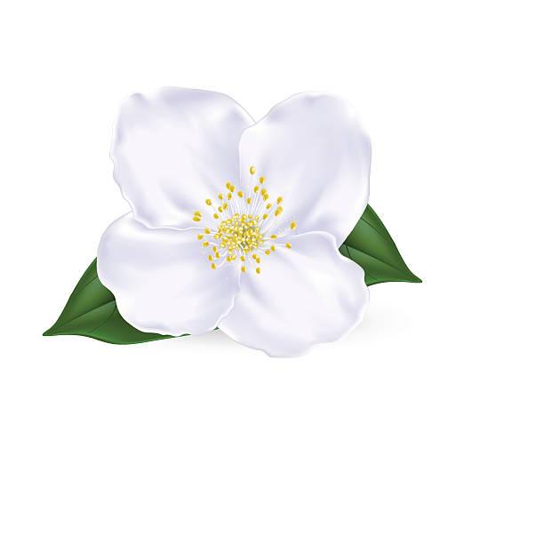 royalty free jasmine flower clip art vector images illustrations istock. Black Bedroom Furniture Sets. Home Design Ideas