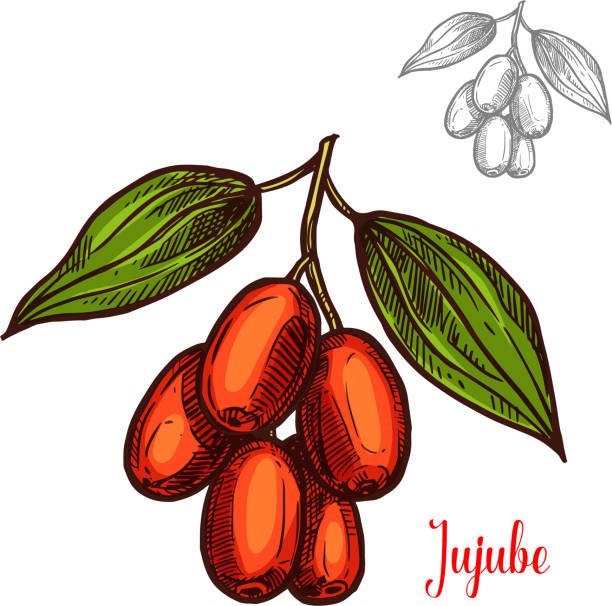 Jujube vector sketch fruit berry icon Jujube berry color sketch icon. Vector botanical design of jujube fruits bunch or Chinese date jujuba buckthorn with leaf for juice or jam dessert or farmer market isolated sketch symbol jujube candy stock illustrations