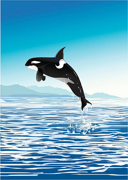 jumping killer whale Young killer whale jump out the sea. killer whale stock illustrations