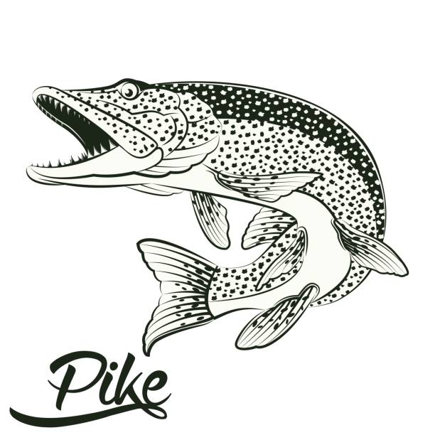 Jumping Pike isolated Monochrome illustration of jumping pike isolated on white background, vector pike fish stock illustrations