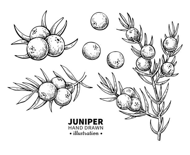 Juniper vector drawing. Isolated vintage illustration of berry on branch. Organic essential oil engraved style sketch. Juniper vector drawing. Isolated vintage  illustration of berry on branch. Organic essential oil engraved style sketch. Beauty and spa, cosmetic ingredient. Great for label, poster, flyer, packaging design. berry fruit stock illustrations