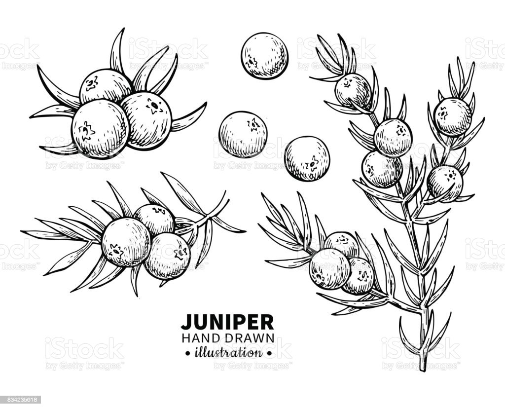Juniper vector drawing. Isolated vintage illustration of berry on branch. Organic essential oil engraved style sketch. vector art illustration