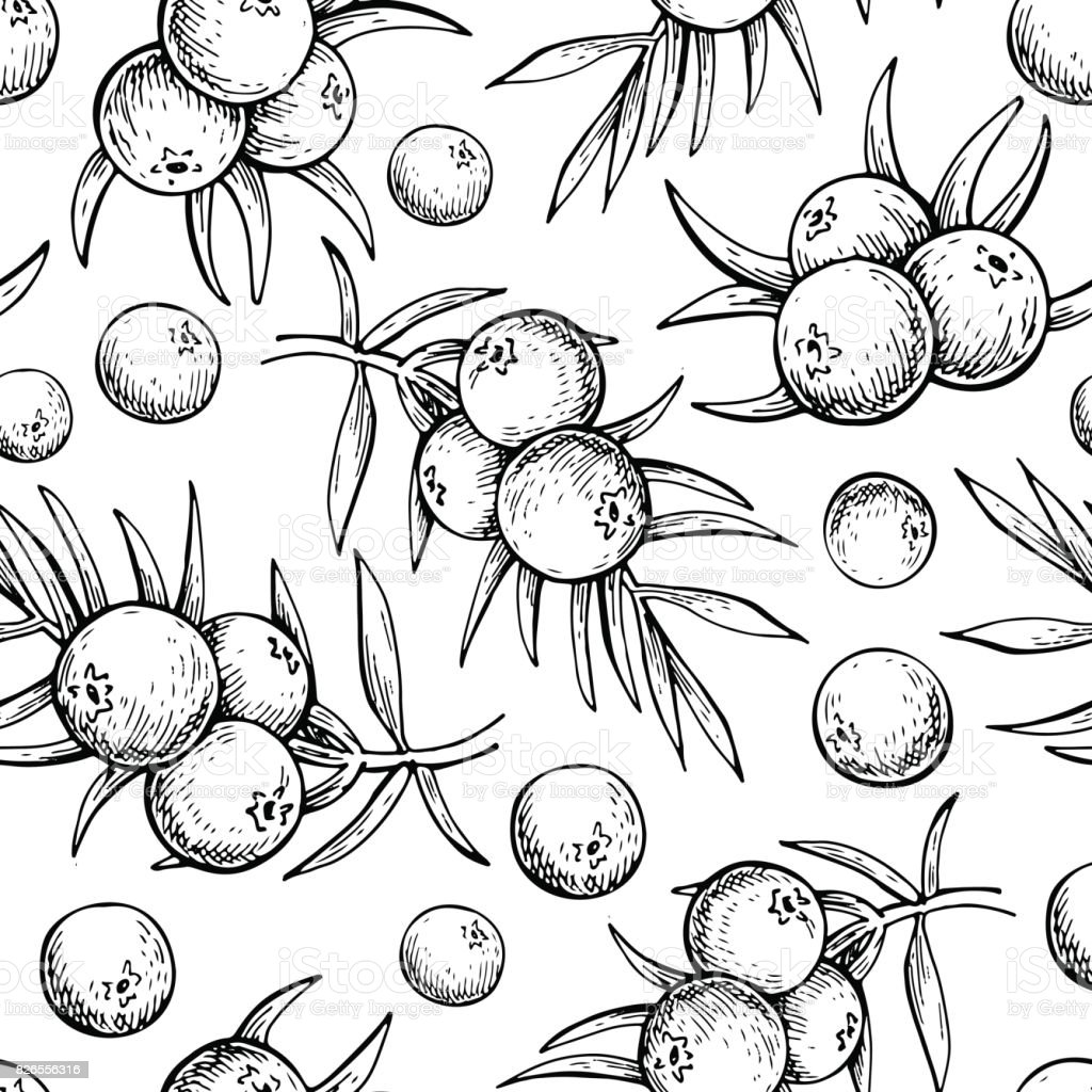 Juniper vector seamless pattern drawing. Isolated vintage background with berry on, branch. vector art illustration