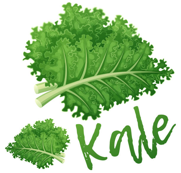 Kale vegetable icon. Cartoon vector illustration isolated on white background. Series of food and drink and ingredients for cooking Kale vegetable icon. Cartoon vector illustration isolated on white background. Series of food and drink and ingredients for cooking kale stock illustrations