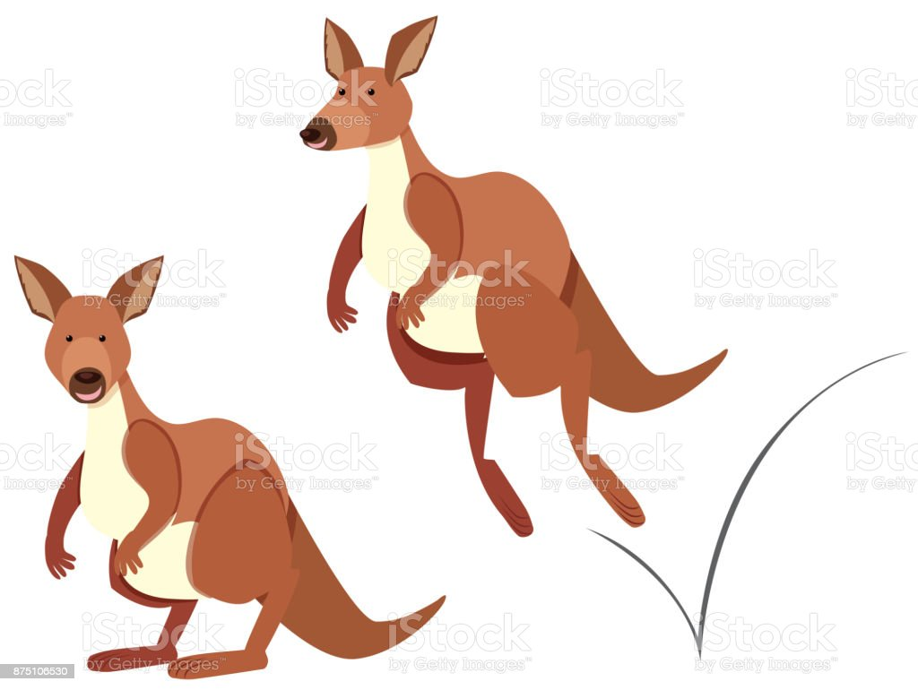 Kangaroo hopping on white background