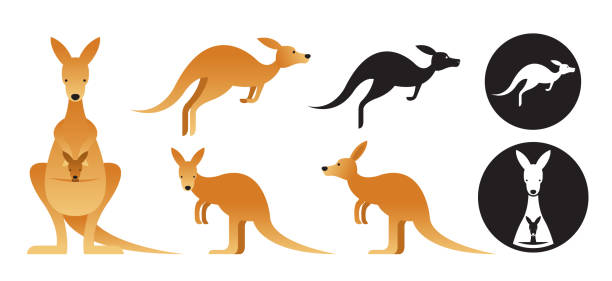 Kangaroo Vector Set Front View, Side View, Silhouette kangaroo stock illustrations