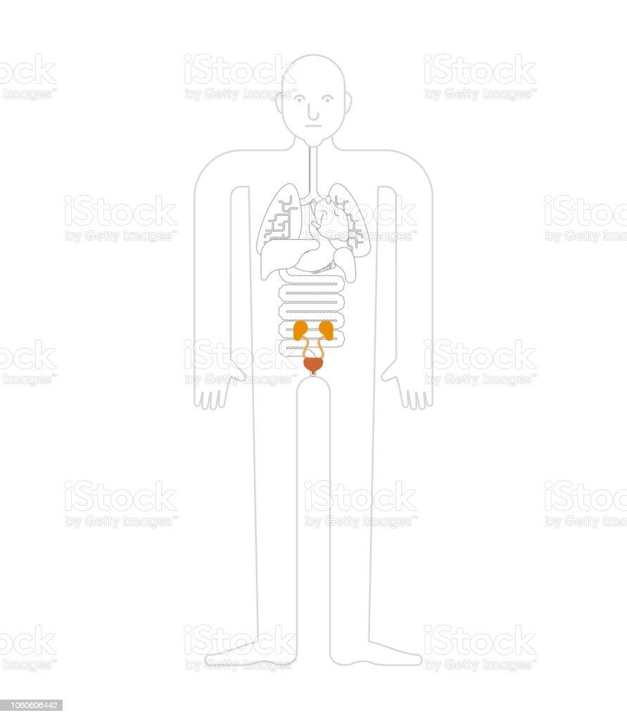 Kidney And Bladder Human Anatomy Gastrointestinal Tract Internal