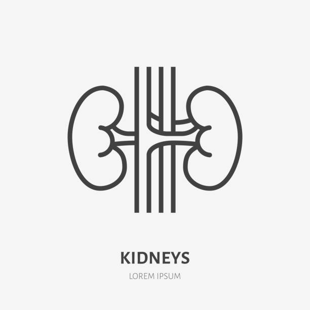 ilustrações de stock, clip art, desenhos animados e ícones de kidneys flat line icon. vector thin pictogram of human internal organ, outline illustration for nephrology clinic - diálise