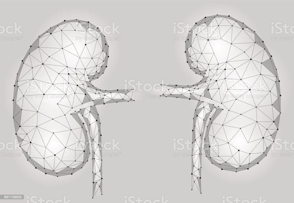 Kidneys internal organ men 3d low poly geometric model. Urology system medicine treatment. Future science technology polygonal geometric gray white vector illustration vector art illustration