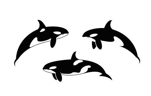 Killer Whale . Isolated killer whale on white background