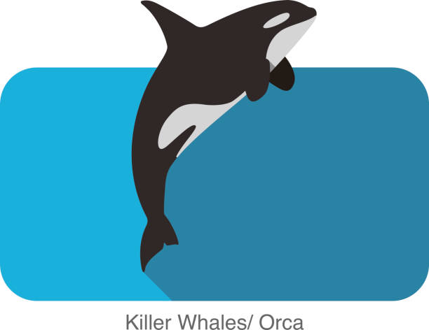 Killer Whale jumping in the sea flat icon design Killer Whale jumping in the sea flat icon design killer whale stock illustrations