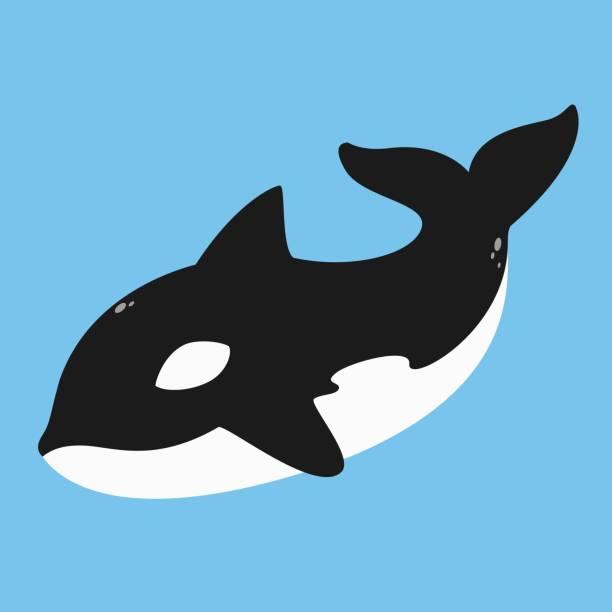 Killer Whale, Orca Vector killer whale, orca vector illustration on blue background. killer whale stock illustrations