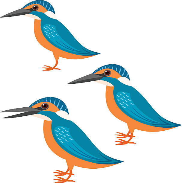 kingfisher vector art illustration
