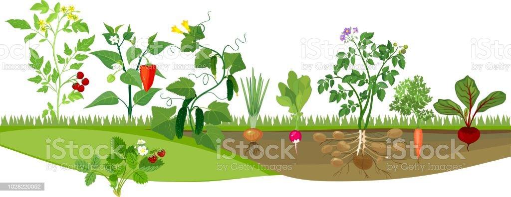 Kitchen garden with different vegetables