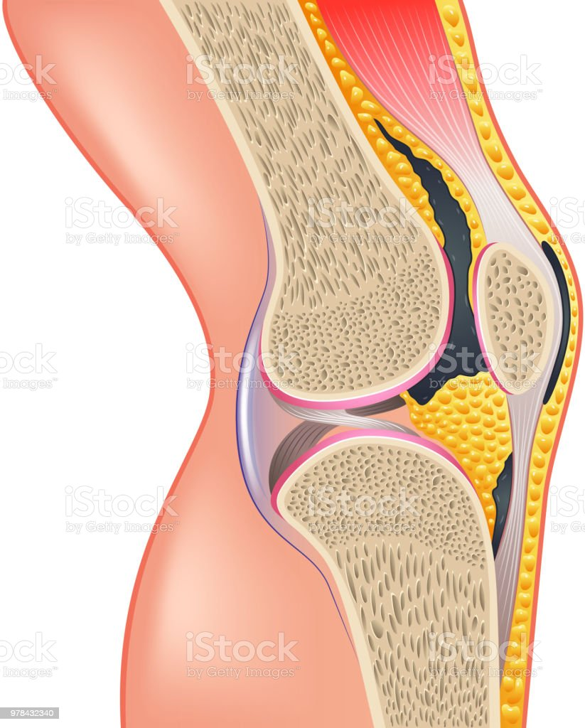 Ilustración de Articulación De La Rodilla Anatomía Aislado En Blanco ...