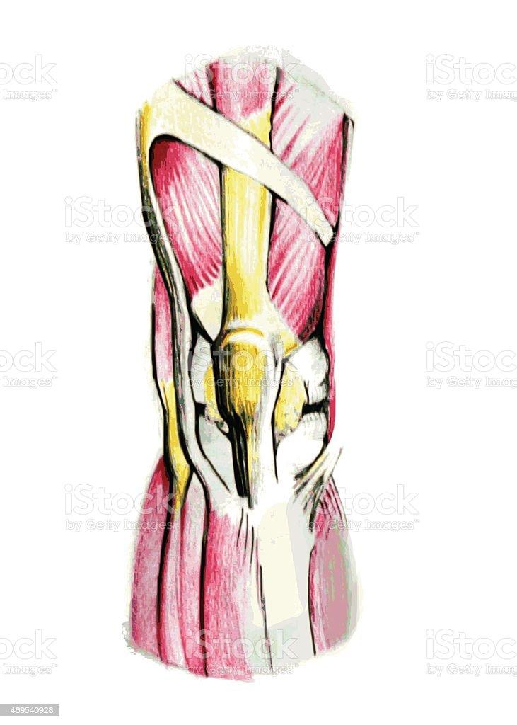 Knie Muskeln Stock Vektor Art und mehr Bilder von 2015 469540928 ...