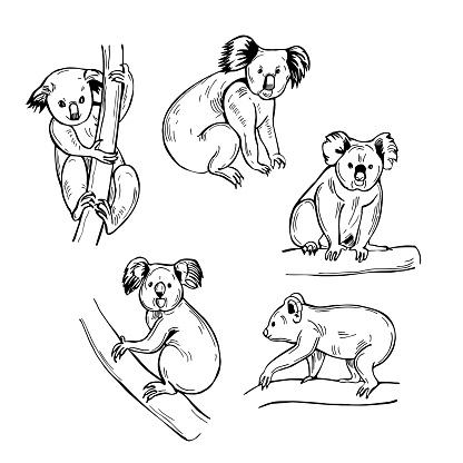 Koala  Vector illustration.