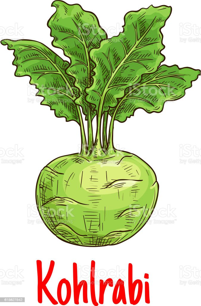 Kohlrabi vegetable with green leaves sketch vector art illustration