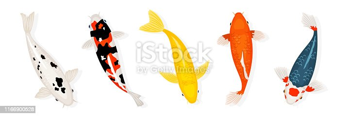 Koi carp fishes vector illustration. Japanese koi fish isolated on white background. Colored carp fish, japanese goldfish illustration