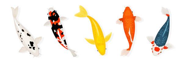 Koi carp fishes vector illustration. Japanese koi fish isolated on white background vector art illustration