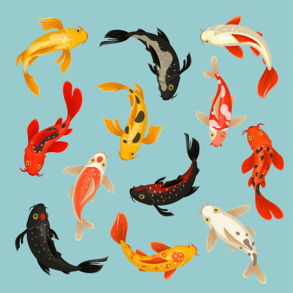 Koi fish beautiful swim oriental pattern design