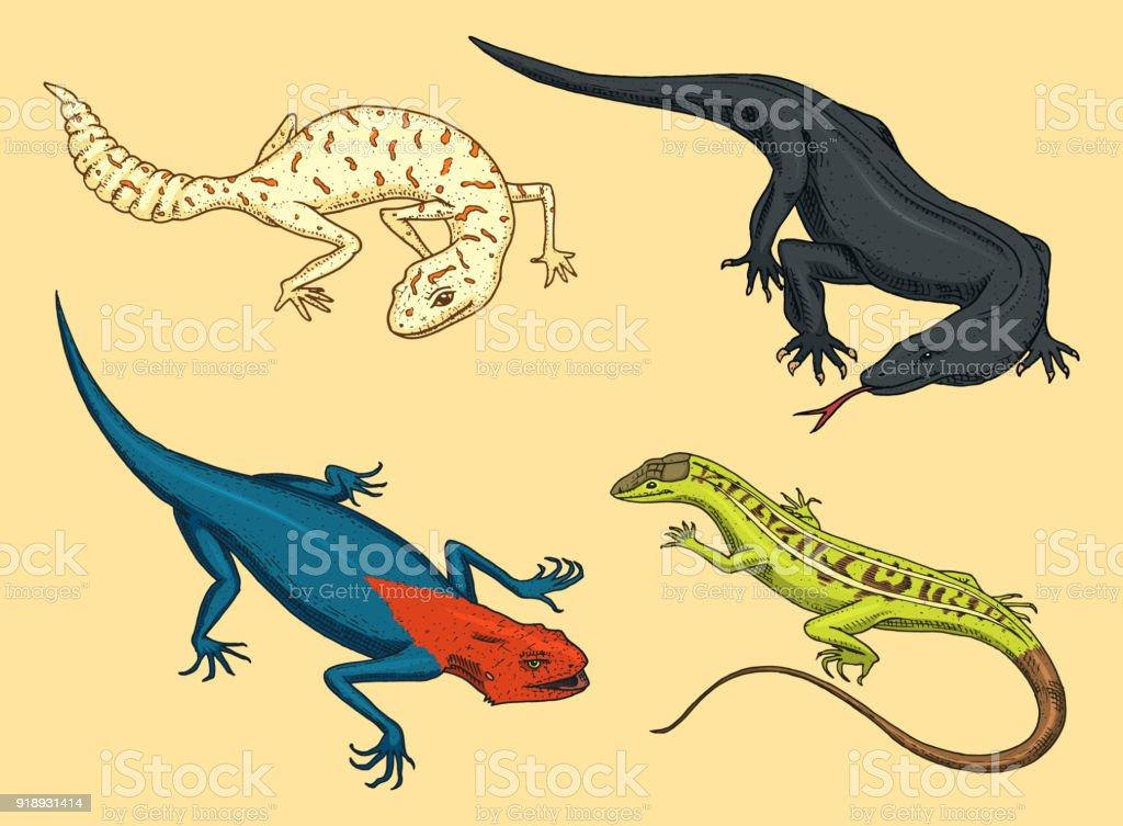 Komodo Dragon Monitor American Sand Lizard Exotic Reptiles Or Snakes
