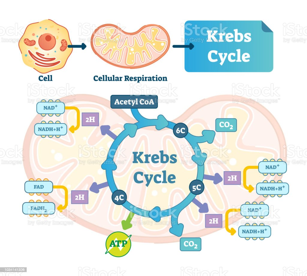 Krebs cycle vector illustration. Citric tricarboxylic acid labeled scheme Krebs cycle vector illustration. Citric tricarboxylic acid labeled scheme. Educational diagram with cell, cellular respiration and ATP. Human power molecular metabolism. Acetate stock vector