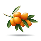Vector kumquat branch with orange fruits and green leaves isolated on white background