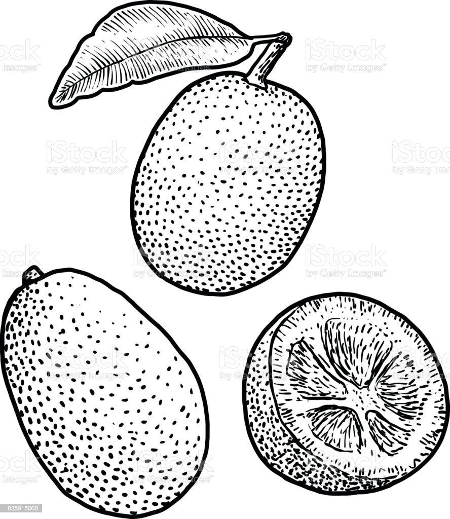 Kumquat illustration, drawing, engraving, ink, line art, vector vector art illustration