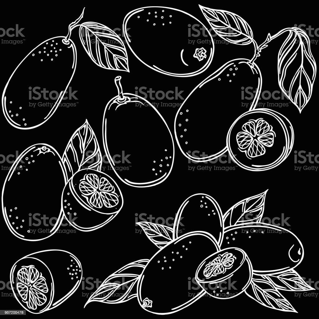 Kumquat linear illustration, vector vector art illustration