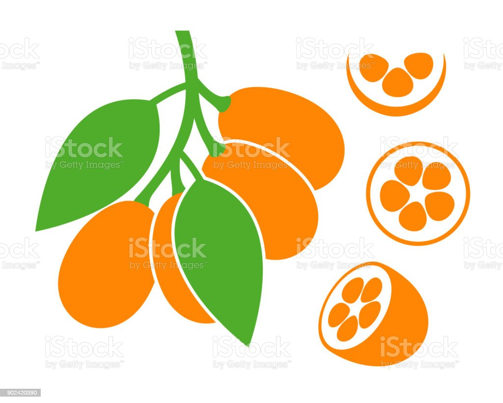 Kumquat set. Isolated kumquat on white background vector art illustration