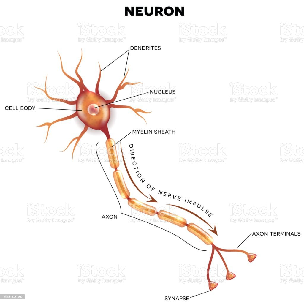 Labeled Diagram Of The Neuron Stock Vector Art & More Images of ...